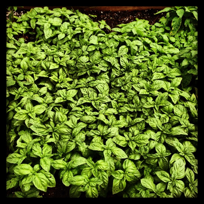 Basil, Basil, Everywhere...